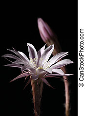 lily cactus, Echinopsis flower on black background