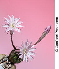 lily cactus, Echinopsis flower on pink background