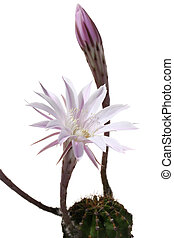 lily cactus, Echinopsis flower on white background
