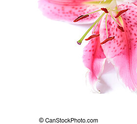 Lily floral template - Pink stargazer lily flower with...