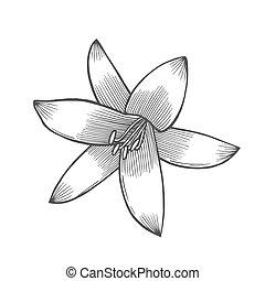 Lily flower illustration, line pattern. Vector artwork....
