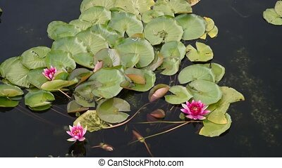 Lily flower in the water with green leaves on a lake.