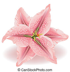 Lily Flower - Lily flower on a white background. Realistic...