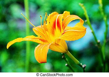 Lily flower orange.