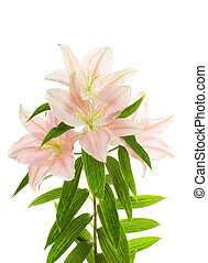 Lily flower over white background