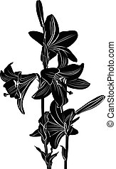 lily flowers isolated