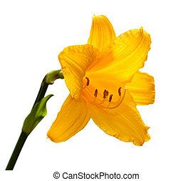 lily., giorno, giallo