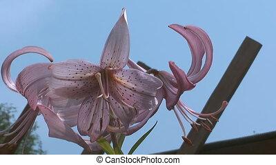 Lily. - HD 1080 closeup shot of beauty pink lily.
