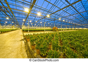 A huge glasshouse with the wide transport lanes trough the fields of potted lilies at night