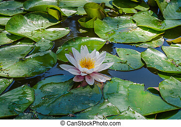 Lily in a pond