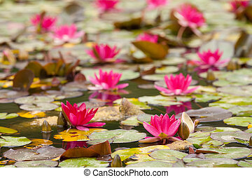 lily in the quiet waters