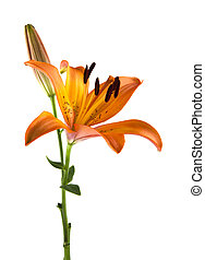 lily isolated on white background