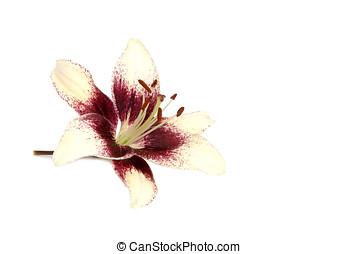 Lily, isolated - Zweifarbige Lilie, liegend, freigestellt