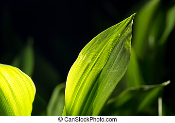 lily leaves in nature