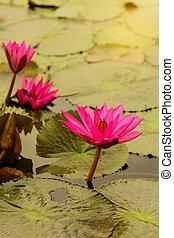 lily), lotus, (water, lac, matin, éclairage, fleurs
