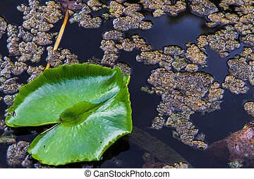 lily Lotuswater pond with water droplets on the leaves floating.