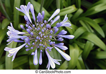 Lily of the Nile (Agapanthus) - Blue flower on a foliage...