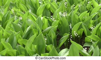 Lily of the valley after the rain - Lily of the valley after...