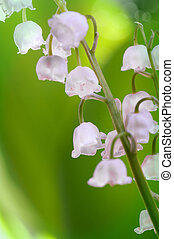 Lily of the valley close-up