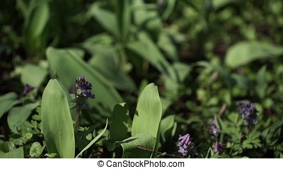 Lily of the valley Convallaria majalis purple flowers....