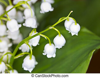 lily-of-the-valley, fiore, macro