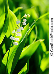 Lily of the Valley flowers in garden