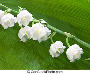 lily of the valley flowers on a background of green leaf