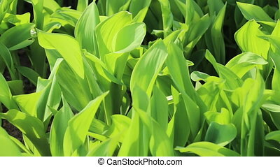 Lily of the valley green leaves on wind. Close up