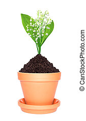 lily of the valley in ground in pot isolated on white background