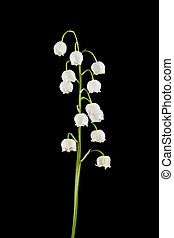 lily of the valley isolated on a black background