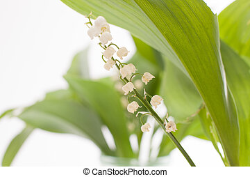 Lily of the valley isolated on white, spring flowers