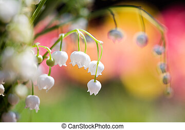 Lily of the valley - Bunch of beautiful lily of the valley