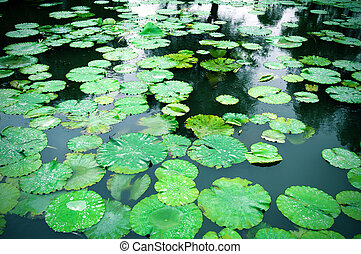 Lily Pad Background - Lily pads on the surface of a pond.