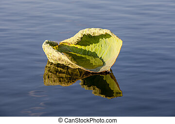Lily pad floating in water