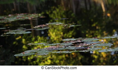 Lily pads and tranquil reflections in a pond or lake during summertime evening sunshine