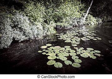 Lily pads at lake shore