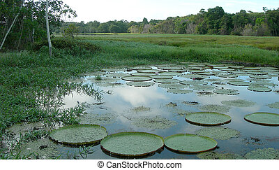 Lily pads in lagoon - Rain Forest mirrored in a lagoon with...