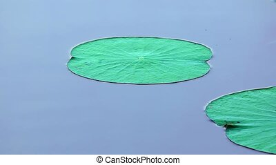 Lily Pads on a Sri Lankan Lake. FullHD 1080p video - Green...