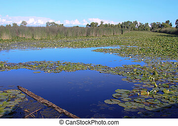 Lily Pads on Still Water