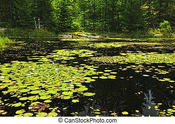 lily pavés, sur, lac