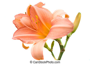 lily - beautiful flower day lily. Close-up
