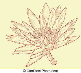 Lily sketch - Illustration of a water lily flower
