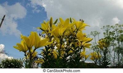 Lily sky flowers. Time Lapse. 14 - Lily sky flowers. Time...