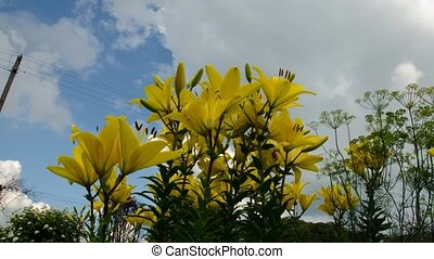 Lily sky flowers. Time Lapse. 15 - Lily sky flowers. Time...