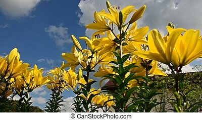 Lily sky flowers. Time Lapse. 37 - Lily sky flowers. Time...
