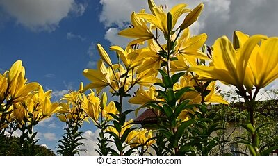Lily sky flowers. Time Lapse. 38 - Lily sky flowers. Time...