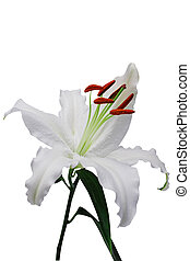 Lily - A beautiful lily flower. 1st of series