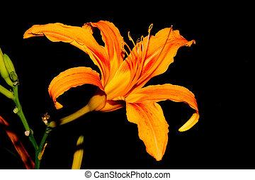Lily - Orange Lily