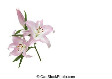 lily  - Lilie, zweig, freigestellt, Blueten, knospe,