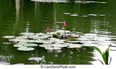 Lily Water in A Pond
